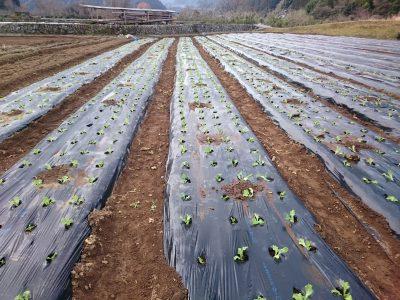 レタス植え開始しました。