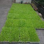 白菜定植準備開始