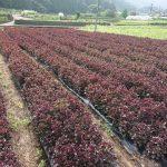 紫蘇の収穫開始