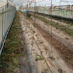 冬トマトの片づけと夏トマトの収穫開始