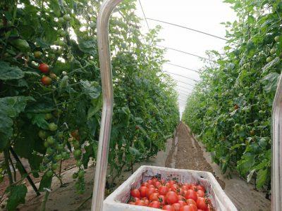 ミニトマト収穫開始です
