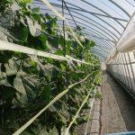 キュウリ、トマト栽培と消防団活動